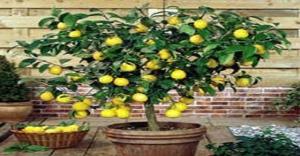 Citrus_lemon