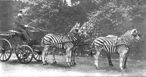 zebras-carriage