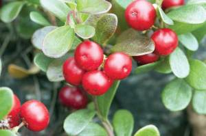 Bearberry is handy for handling urinary tract infections. Photo by Dreamstime/Sever180