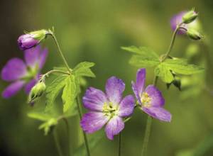 Wild geranium is one of several astringent plants that will help regulate digestion. Photo by Dreamstime/Victoria L. Almgren