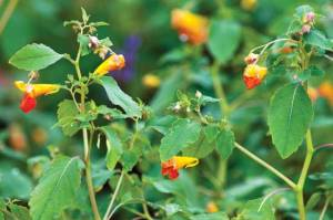 The aerial plants of jewelweed can create a potent poison ivy remedy. Photo by iStockphoto/NNehring