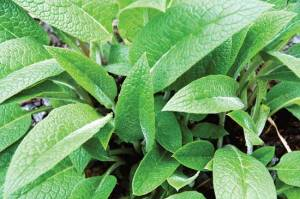 Comfrey root prompts healing and makes for a good wound powder ingredient. Photo by iStockphoto/ErikaMitchell